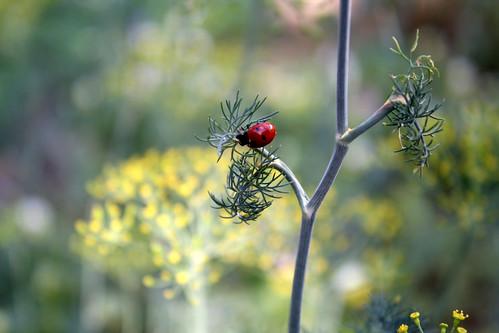199-ladybug on dill