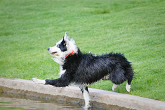 Bwahaha (Anda74) Tags: urban water jumping funny action expression redneck bordercollie ouzo wetdog dockdiving canonef70200mmf4lusm