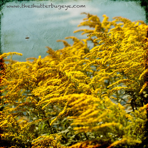 Goldenrod Part I by The Shutterbug Eye™