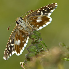 Pyrgus malvae (Sinkha63) Tags: france macro nature animal butterfly wildlife ngc lepidoptera papillon npc getty insecte gettyimages limousin beynat insecta hesperiidae grizzledskipper pyrgus pyrginae pyrgusmalvae hesprie hespriedelamauve hespriids mygearandme mygearandmepremium mygearandmebronze mygearandmesilver mygearandmegold annesorbes mygearandmeplatinum mygearandmediamond flickrstruereflection1 flickrstruereflection2 flickrstruereflection3 flickrstruereflection4 flickrstruereflection5