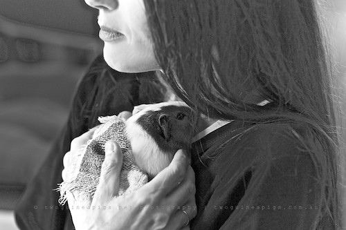 Cuddle, guinea pig Gertrude's portrait by twoguineapigs pet photography
