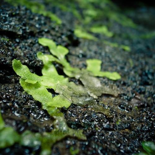 Lichens, Nokogiri Yama