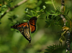 The next generation~ (Connie Etter Photography) Tags: two tree butterfly sony indiana together monarch future mate attached 75300 a700
