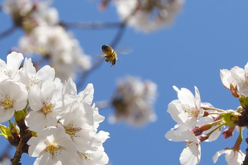Bee in Flight by rumpleteaser, on Flickr