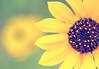 Summer stars (y2-hiro) Tags: summer macro nature yellow nikon bokeh sunflowers d300 70mm