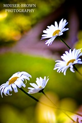 Searching for the sun (Kris Mouser-Brown) Tags: flowers daisies colours bokeh daisy softfocus mouserbrown