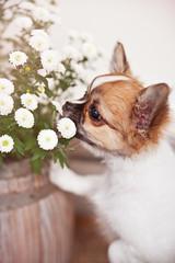 (petspective) Tags: flowers light dog pet chihuahua dogs animal puppy nikon pup tamron tibetanspaniel d700