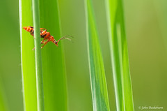 On guard ! (John Beukeboom) Tags: red holland macro green netherlands bug insect groen wildlife sony beetle nederland tor rood insekt soe kever soldierbeetle a700 weekschildkever soldaatje rhagonychafulva redsoldierbeetle commonredsoldierbeetle kleinerodeweekschildkever rodeweekschildkever mygearandme ringexcellence blinkagain bestofblinkwinners johnbeukeboom