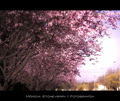 42/365 (Mnica Etcheverry) Tags: pink flowers trees flores primavera colors spring nikon day arboles seasons rosa dia 2011 project365 d3100