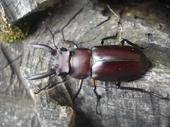 Lucanus formosanus (Odontolabis) Tags: bug insect beetle insekt kfer stagbeetle coleoptera insecta lucanidae hirschkfer lucanus formosanus scarabaeoidea