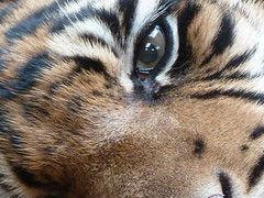 The Eye of the Tiger (GillWilson) Tags: