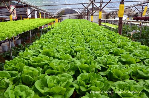 vegetable farm at Cameron highland1