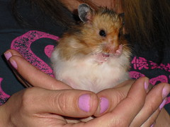 NEW DANDY PICTURES (jellybaby86) Tags: cute fluffy hamster satin coward syrian longhaired dandydust