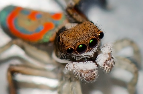 Peacock spider by jeans_Photos, on Flickr