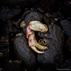 seemed like a good idea (Mike Ambach) Tags: macro nature crab shore tidepool olympusep1