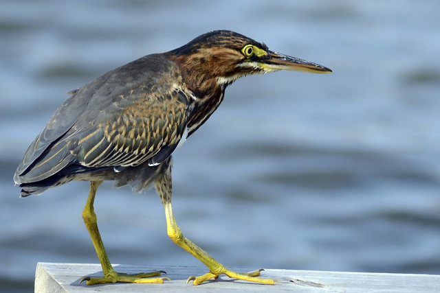 Green Heron on Dock III