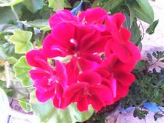 وردة زهرية (Mohannad Najjar) Tags: وردة زهري