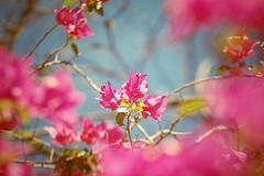 to doce, to cedo, to j. (~gciolini) Tags: life brazil sun flower primavera colors azul vintage happy day sweet rosa dia vida musica feeling rosas doce cedo 70300 rvore privilgio caiof gciolini levezas