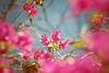 tão doce, tão cedo, tão já. (~gciolini) Tags: life brazil sun flower primavera colors azul vintage happy day sweet rosa dia vida musica feeling rosas doce cedo 70300 àrvore privilégio caiof gciolini levezas