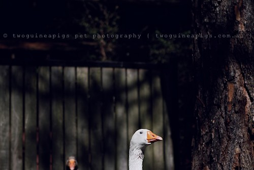 Goose-head by twoguineapigs pet photography | bird photography