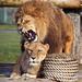 Installing Lion