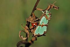 Jaspisöölane; Staurophora celsia; jaspisyökkönen (urmas ojango) Tags: lepidoptera liblikalised insecta insects putukad moth öölased noctuidae nationalmothweek jaspisyökkönen