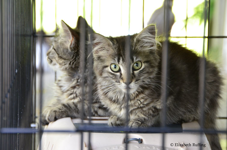 Feral tabby kittens, photo by Elizabeth Ruffing