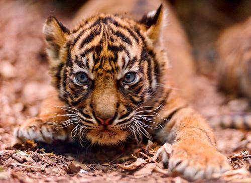 フリー写真素材, 動物, 哺乳類, 虎・トラ,