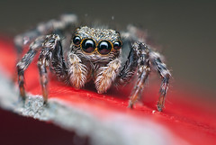 Sunniva (Olivier M Roland) Tags: red portrait hairy house black detail macro cute nature female dark rouge living spider big jumping eyes looking belgium belgique legs pentax wildlife web arachnid silk adorable fluffy yeux plush jumper curious reversed maison gaze fang jumpingspider pattes gros araigne toile regard fourrure mignon peluche arthropod macrophotography poils arachnide noirs curieux salticidae pelage fonc chelicerae macrophotographie arthropode salticide sauteuse saltique pseudeuophrys lanigera k200d araignesauteuse