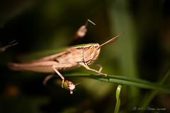 Jiminy Cricket (flo74.) Tags: macro nature animal garden insect jardin cricket soe insecte aoi jiminycricket criquet mywinners abigfave shieldofexcellence impressedbeauty photophiles artofimages