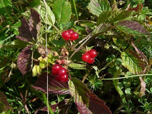 Ronce des rochers=Rubus saxatilis, Chappes 056