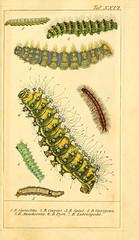 Anglų lietuvių žodynas. Žodis genus saturnia reiškia genties saturnia lietuviškai.
