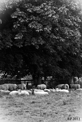 Moutons à l'ombre / Sheeps in the Shadows