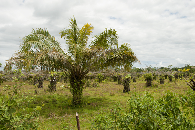 African Palm