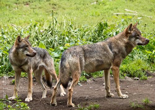 Visite des loups au parc Alpha 6036143000_9fbb8f6a6d