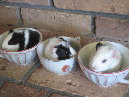 our teacup baby pigs!!!