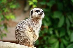 . (Lampyris noctiluca) Tags: animals canon eos zoo reflex squirrel sweden stockholm acquarium skansen animali stoccolma svezia 2011 suricata 1000d scoiattoplo