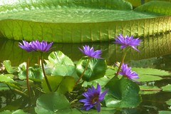 Water Lily (ivlys) Tags: flowers summer nature blumen blatt gttingen ivlys nymphaeapanamapacific botanischergartenunigttingen riesenseerosevictoria blauetropischeseerose