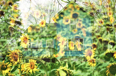 (chelseyfulbright.) Tags: summer house abandoned illinois spring midwest overlay sunflowers