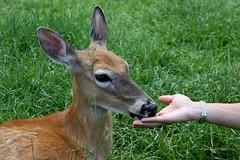 Jim Peck Wildwood (visiblejoy) Tags: green grass wisconsin hand ears deer eat fawn feed upnorth gentle naturecenter northernwisconsin minocqua annsullivan canoneos40d jimpeckswildwood visiblejoyphotography