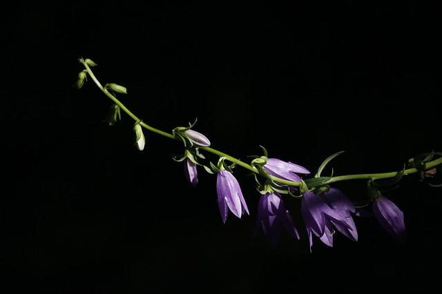 purple bellflowers