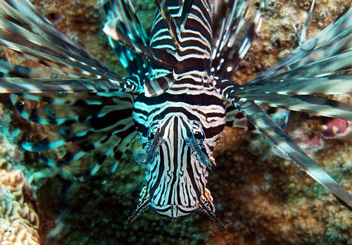 Lionfish - spectacular in stripes