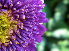 Purple sunrise [EXPLORE] (Andylinchen) Tags: summer flower macro nature closeup canon germany deutschland petals purple bokeh sommer natur lila blume makro aster koblenz rheinlandpfalz buga buga2011 canong10