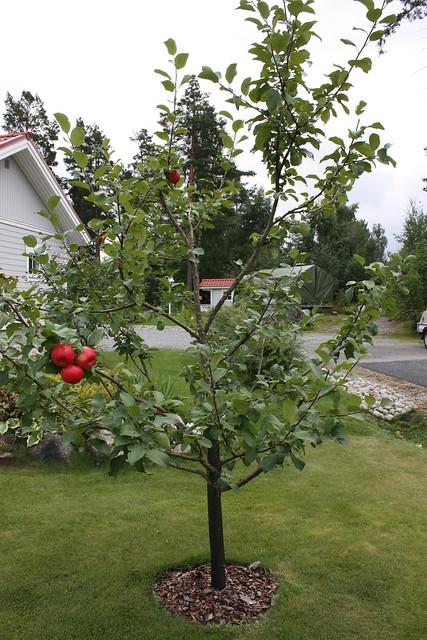 Litet äppelträd