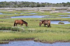 oc2011 645 (pmarm) Tags: park wild horse maryland assateagueisland assateague wetland wildhorse eos50d oc2011