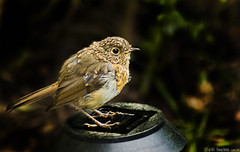 225 of 365 - Young Robin (linlaw39) Tags: red summer bird robin oneaday bokeh wildlife lindal 70300mmlens mintlaw project365 365project canoneos500d august2011 13082011