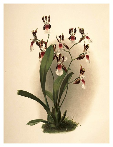 030-Odontoglossum Schröderianum-Reichenbachia-Orchids illustrated and described..VolI I-1888-F.Sander