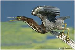 20110827-0710 Green Heron (Earl Reinink) Tags: flight greenheron greenheroninflight earlreinink