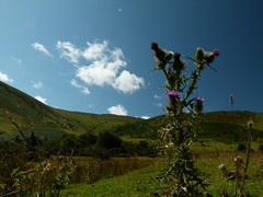 Thistle and clouds