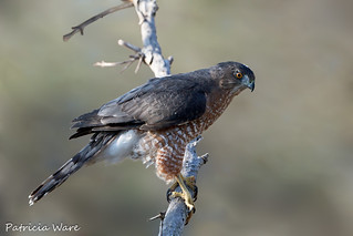 A Pensive Cooper's Hawk